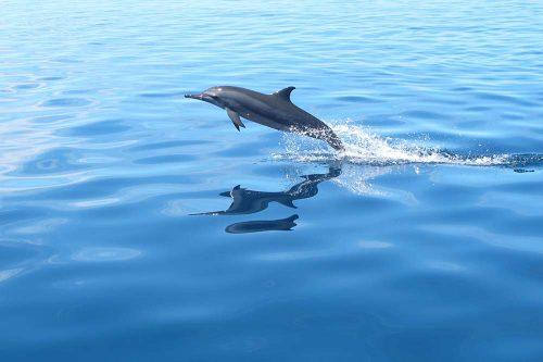 Dauphin qui saute hors de l'eau